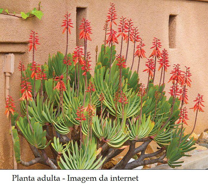 Aloe plicatilis  - Suculentas Angela Gontijo