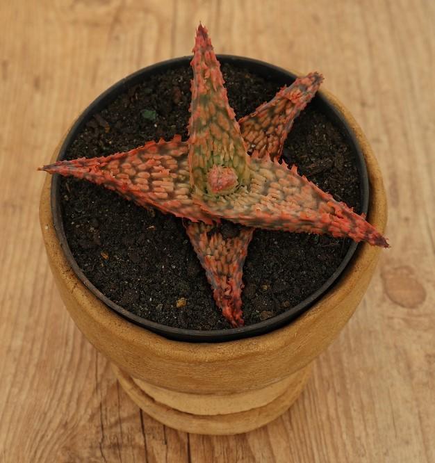 Aloe sp2