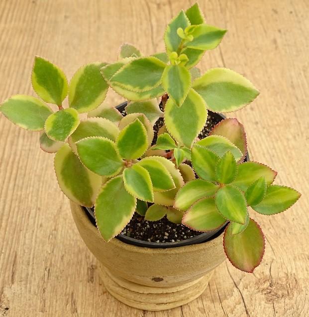 Crassula sarmentosa variegata 2  - Suculentas Angela Gontijo