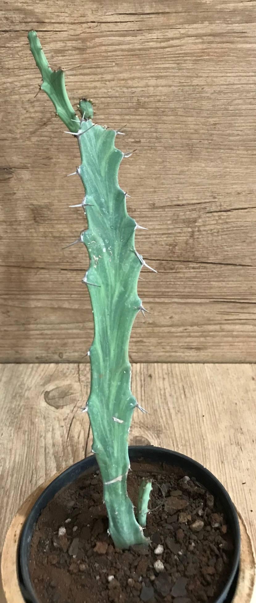 Euphorbia buruana  - Suculentas Angela Gontijo