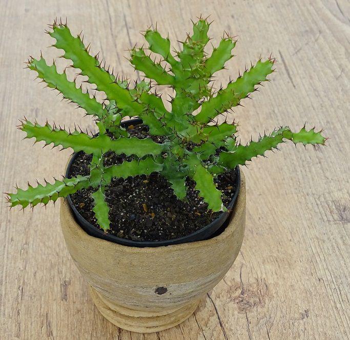 Euphorbia wakefieldii  - Suculentas Angela Gontijo