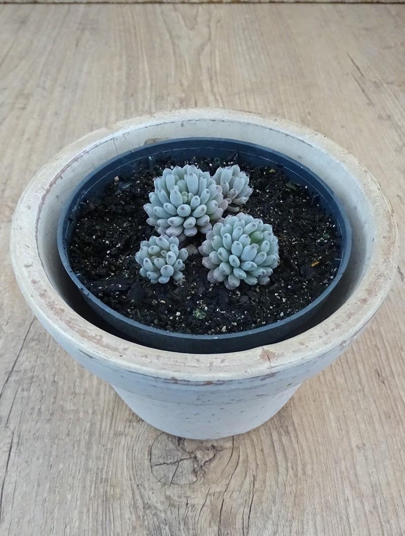 Graptopetalum pachyphylum (3 cabecinhas)  - Suculentas Angela Gontijo