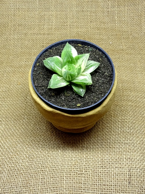 Haworthia cuspidata variegata  - Suculentas Angela Gontijo