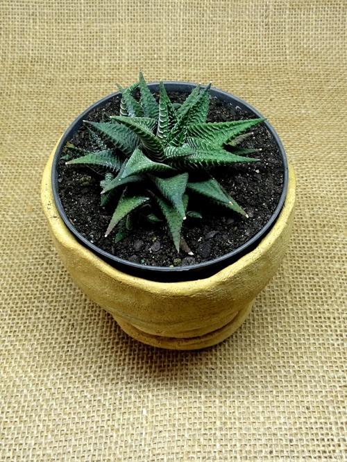Haworthia limifolia