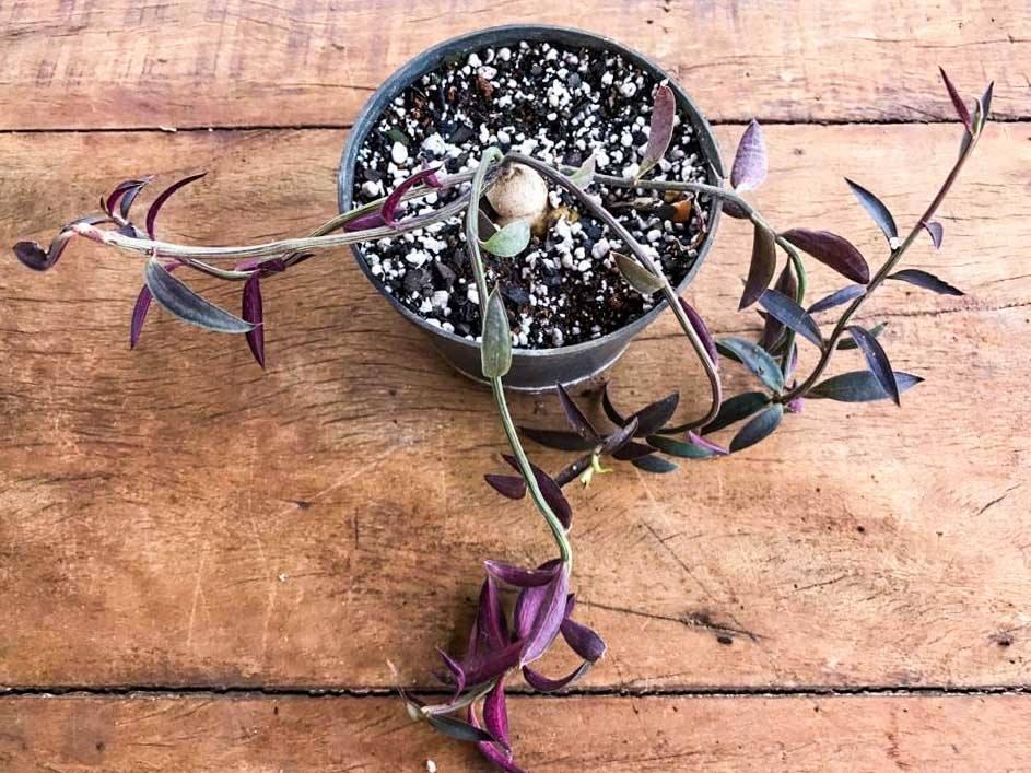 Monadenium rubellum  - Suculentas Angela Gontijo