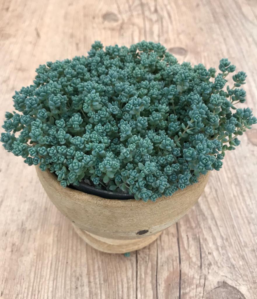 Sedum dasyphyllum minor