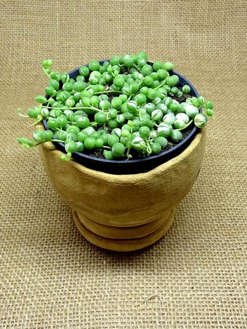 Senecio rowleyanus variegata  - Suculentas Angela Gontijo