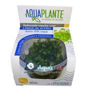 "PLANTA NATURAL HYDROCOTYLE TRIPARTITA ""MINI"" - AQUAPLANTE"