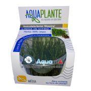 """PLANTA NATURAL VESICULARIA FERRIEI """"WEEPING"""" - AQUAPLANTE"""