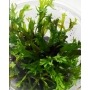 PLANTA NATURAL MICROSORUM PTEROPUS WINDELOV - AQUAPLANTE
