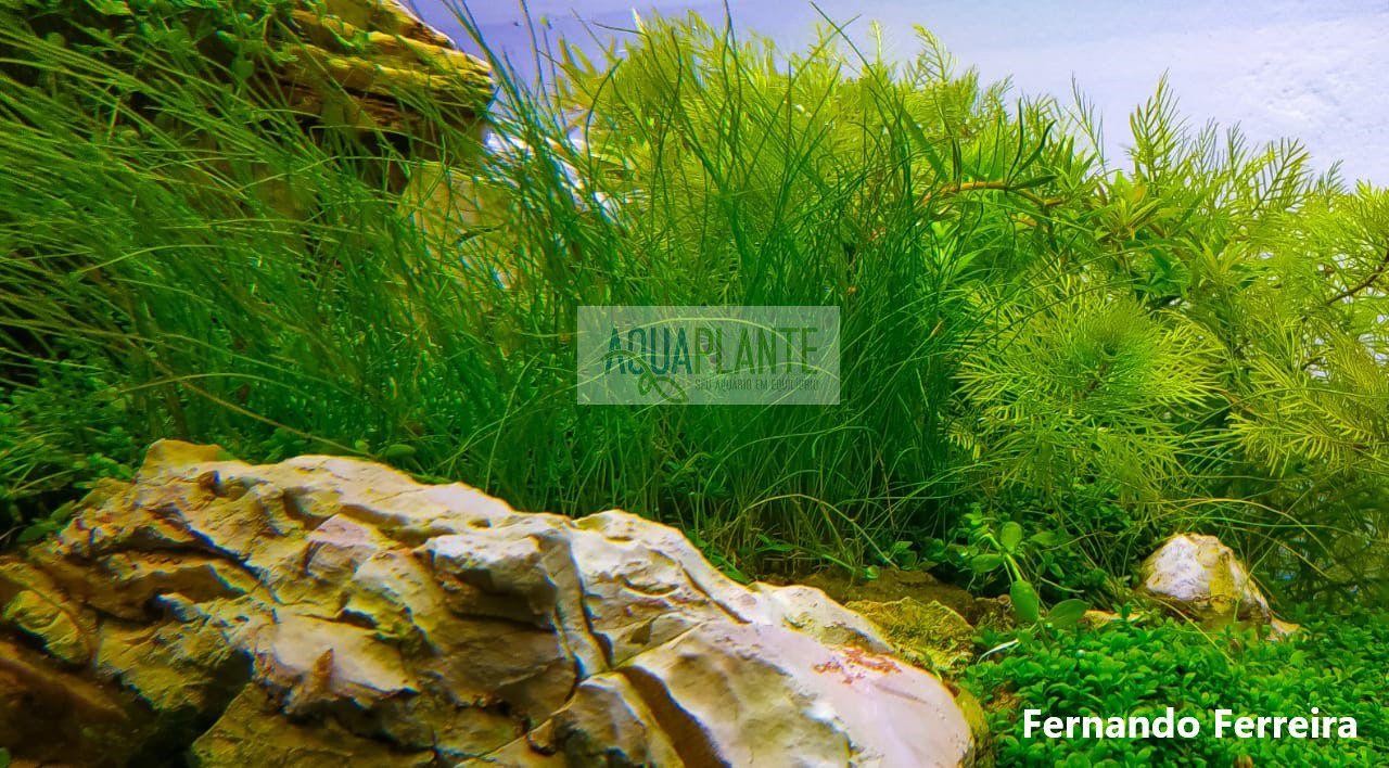 PLANTA NATURAL ELEOCHARIS MÍNIMA - AQUAPLANTE