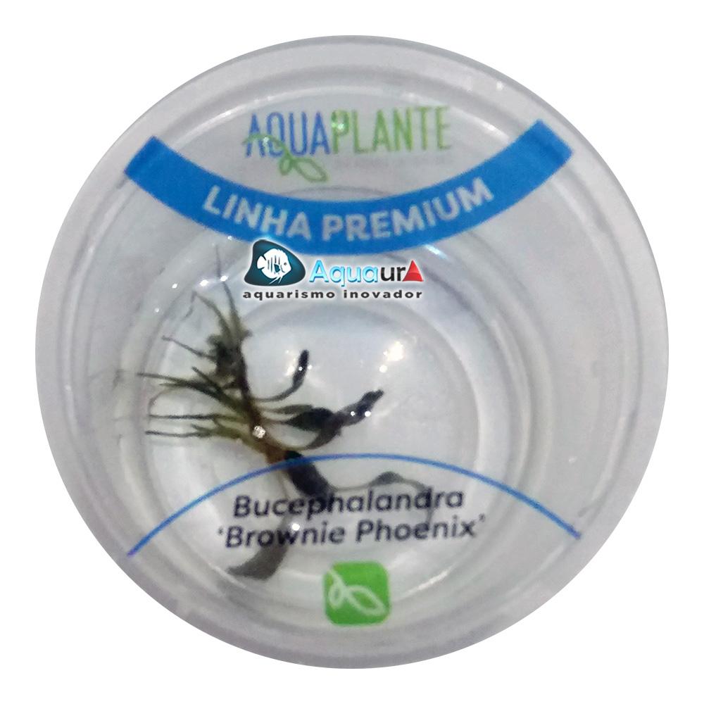 PLANTA NATURAL BUCEPHALANDRA BROWNIE PHOENIX - AQUAPLANTE