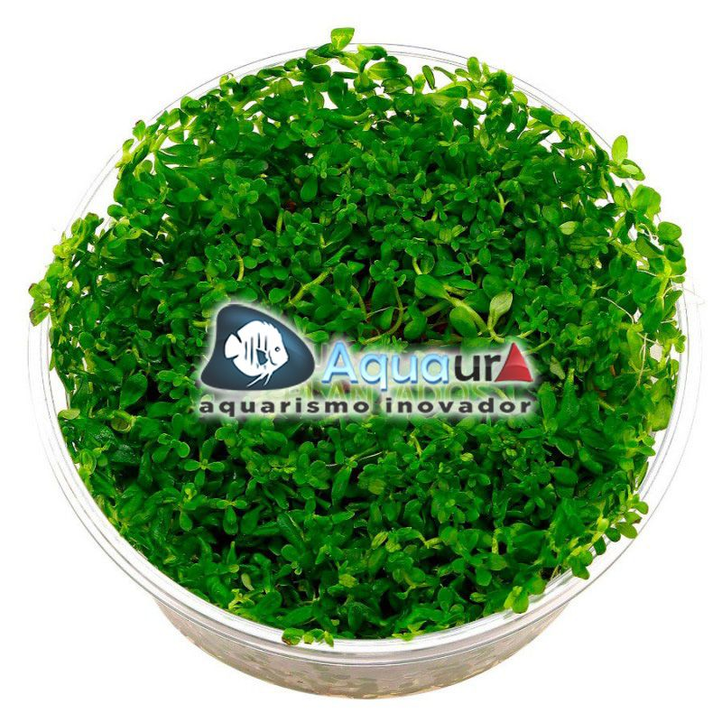 "PLANTA NATURAL ROTALA SP. ""GREEN"" - AQUAPLANTE"