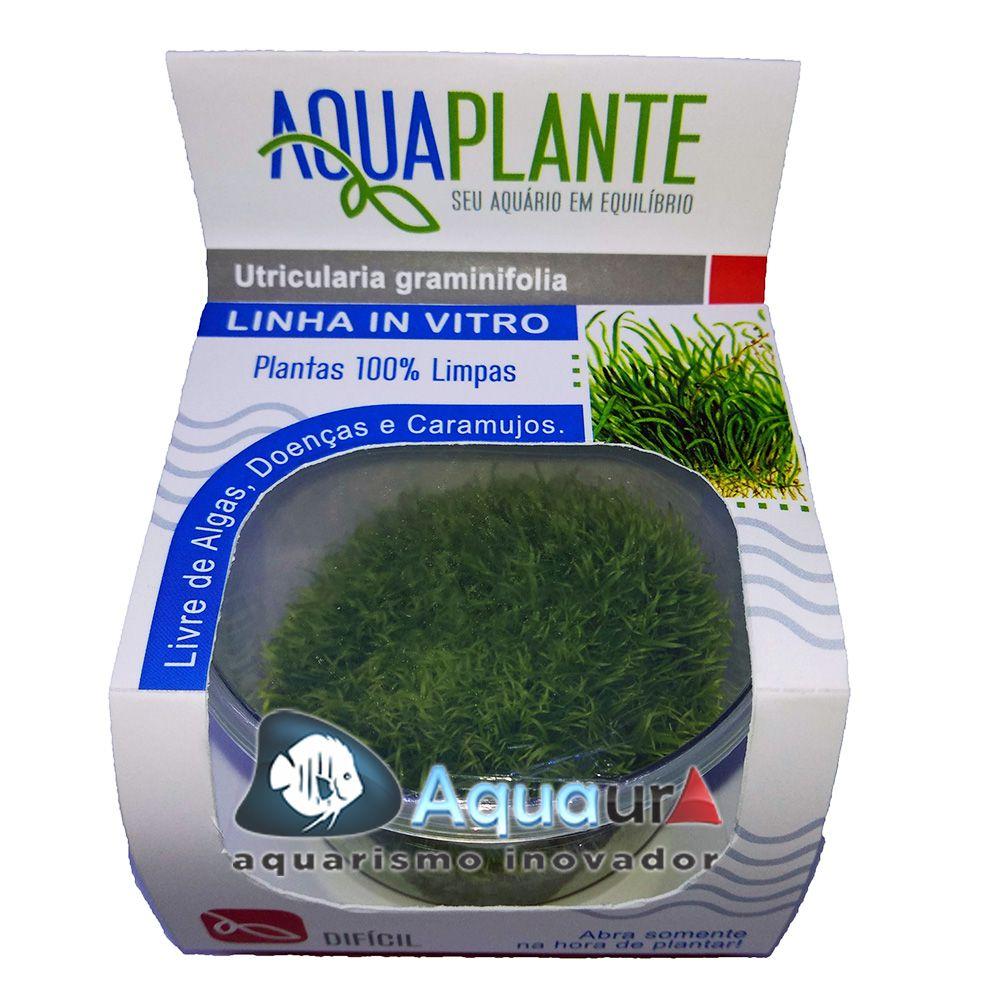 PLANTA NATURAL UTRICULARIA GRAMINIFOLIA - AQUAPLANTE