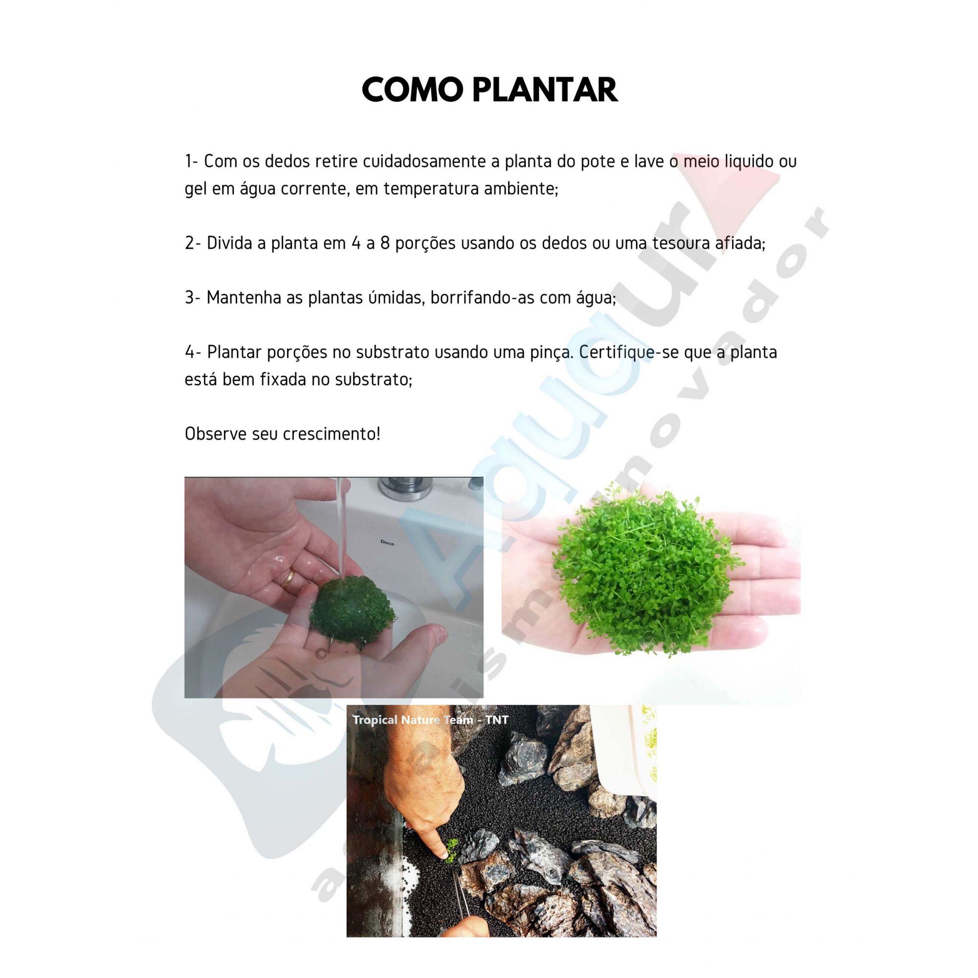 PLANTA NATURAL RICCARDIA CHAMEDRYFOLIA - AQUAPLANTE