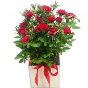 Mini Rosas Vermelhas Plantadas