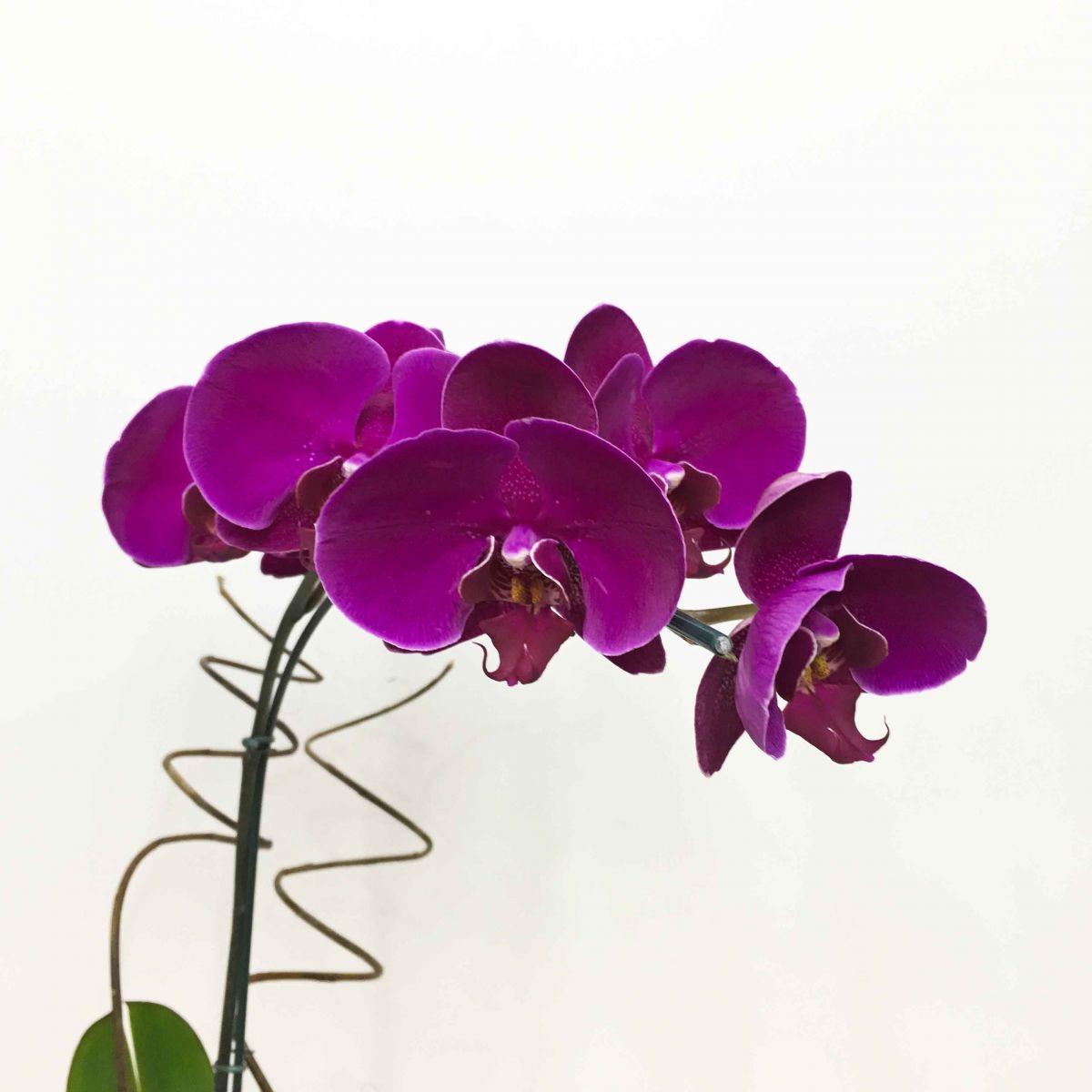 Doce Phalaenópsis Pink