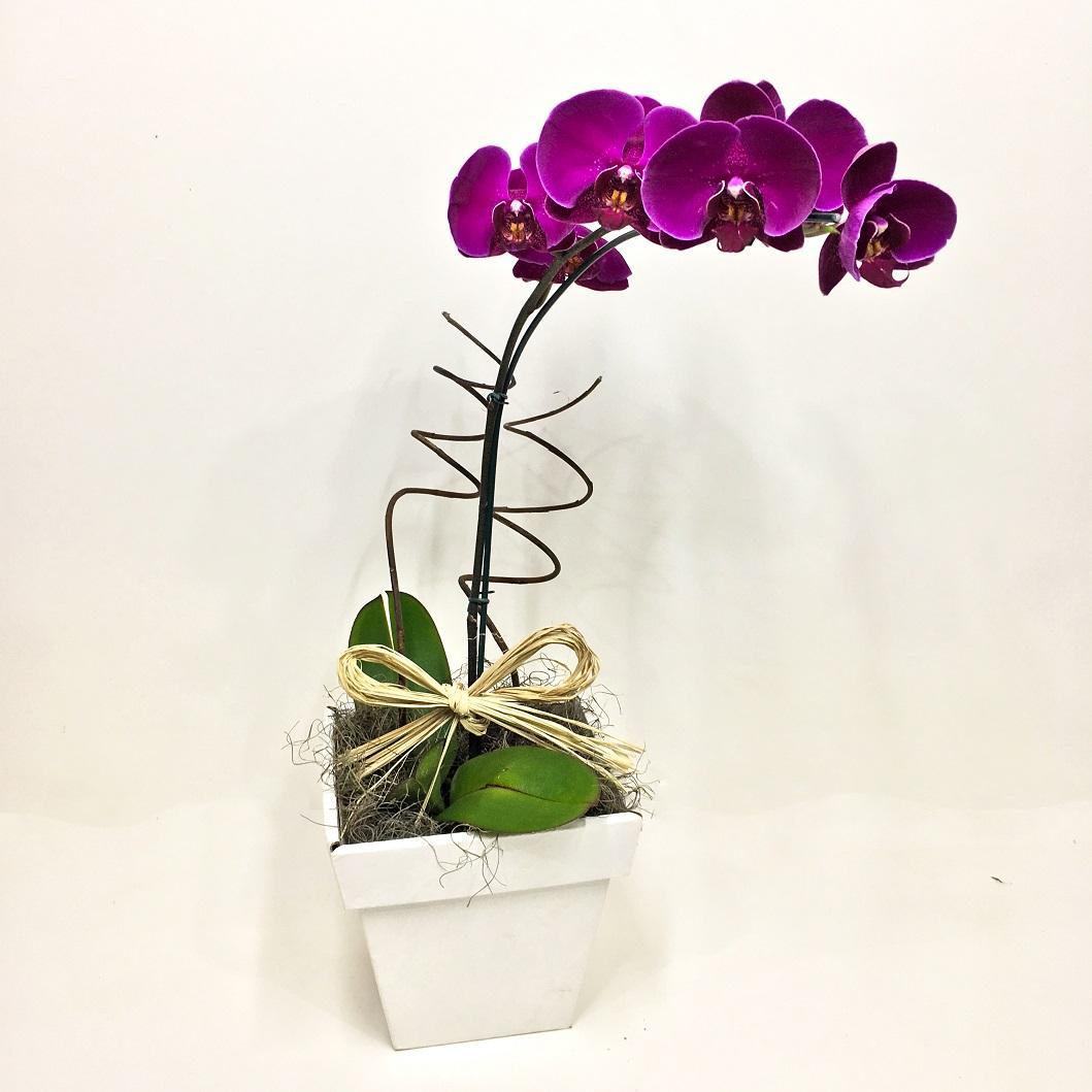 Orquídea Phalaenópsis Pink