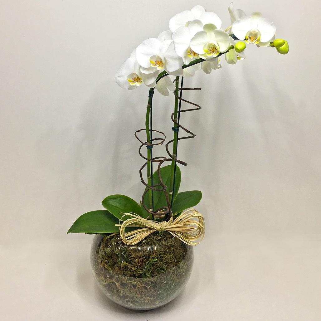 Phalaenópsis Luxo