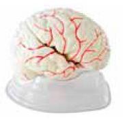 Modelo de Cérebro com 7 partes - Mod. EB-3105 - Edutec
