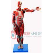 Modelo Muscular Humano 85CM 27 Partes -  Mod.EB-3175 - Edutec