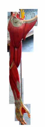 Modelo de Braço Musculado com Vasos e Nervos - 6 partes - Mod. EB-3072 - Edutec