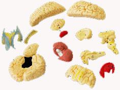 Modelo de Cérebro com Artérias 15 Partes Mod. EB-3054 - Edutec