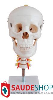 Modelo de Crânio com Coluna Cervical - Mod.EB-3188 - Edutec