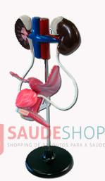 Modelo de Sistema Urinário (Genital) Feminino 4 Partes -  Mod.EB-3097 - Edutec