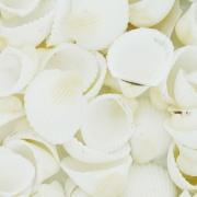 Concha - Clam Rose