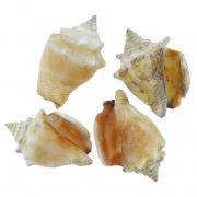 Concha - Peguari (Strombus Pugilis)