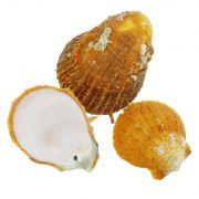 Concha - Spondyllus Barbatus