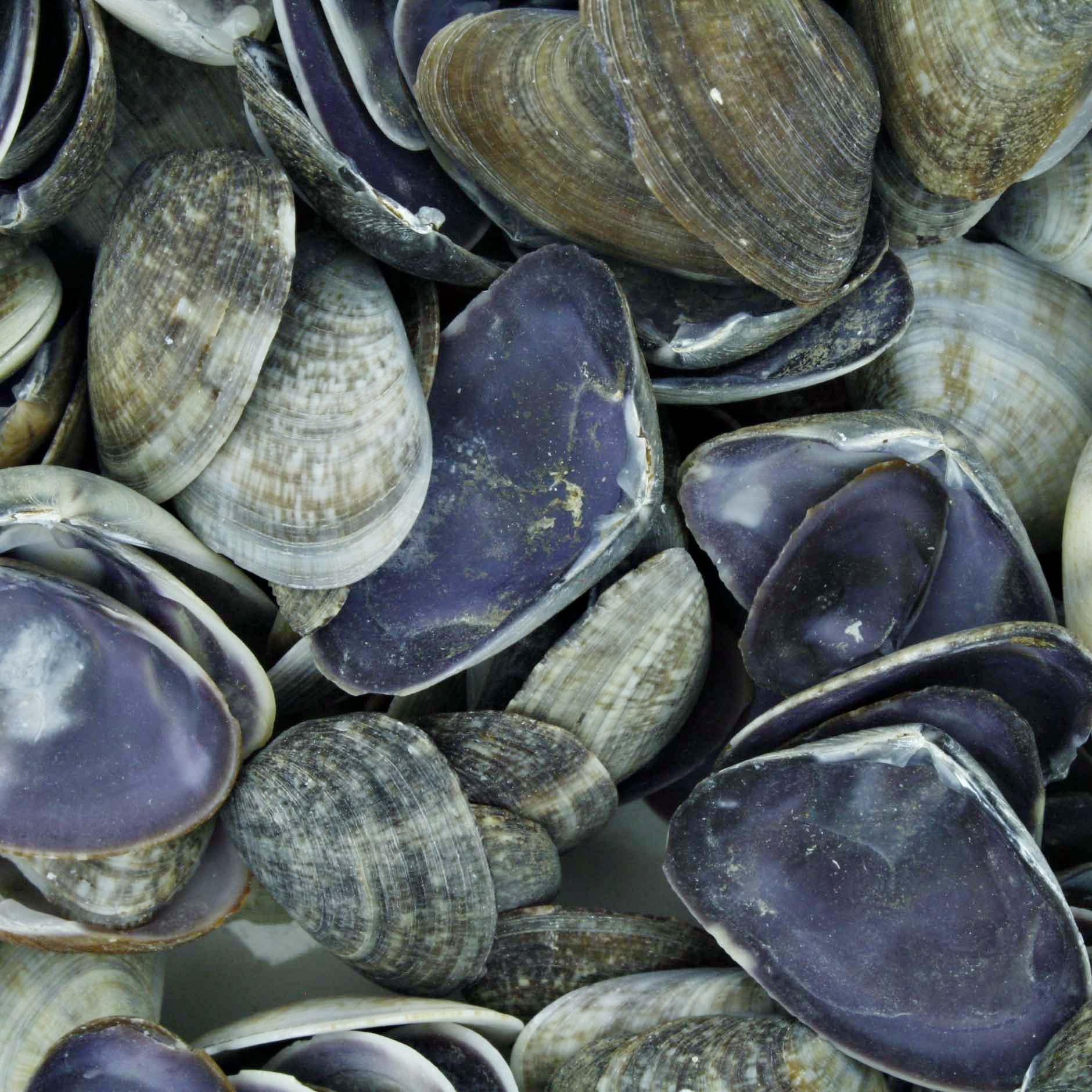 Concha - Cay Cay Shell Purple (Dosinia Trosheli)  - Universo Religioso® - Artigos de Umbanda e Candomblé