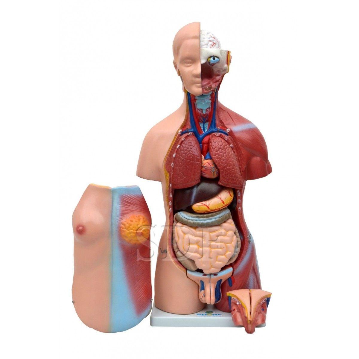 TORSO HUMANO BISSEXUAL COM ABERTURA NAS COSTAS DE 45 CM COM 24 PARTES REF 5022/B