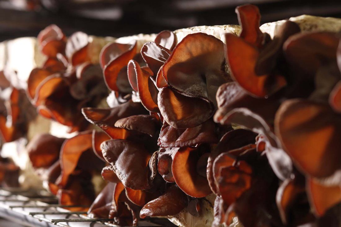Cogumelo Desidratado - Kikurage Funghi 50g