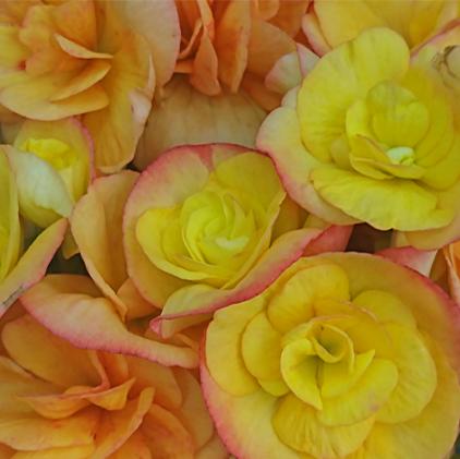 Delicadeza da Begonia Plantada