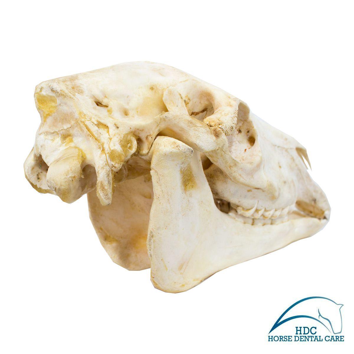 Horse Skull - 001
