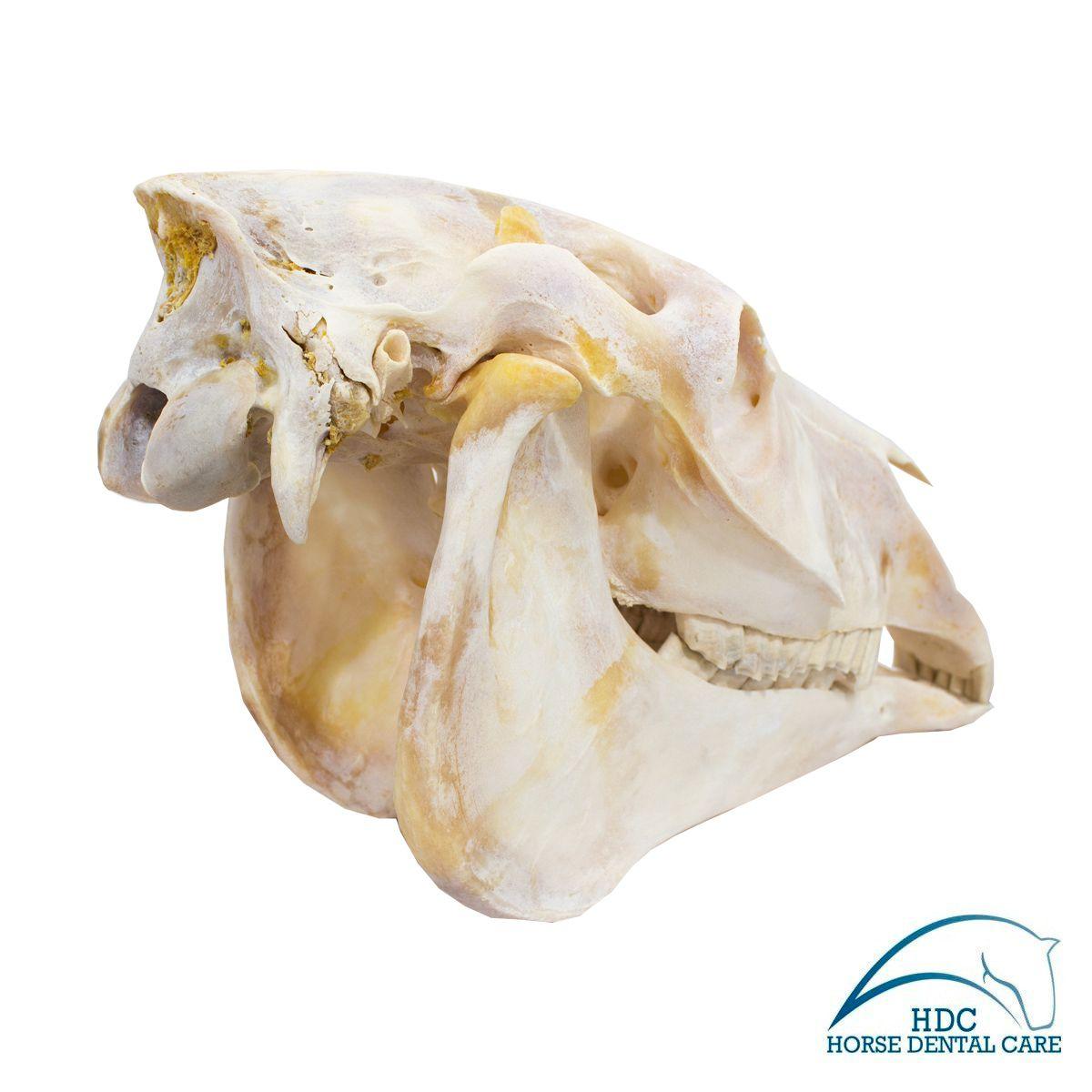 Horse Skull - 004