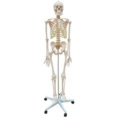 Esqueleto Humano Anatomia Com base e Rodas Em Resina 170 Cm