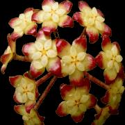 Hoya finlaysonii - muda flor de cera