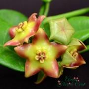 Hoya cv ruthie - flor de cera - muda pequena