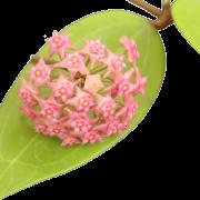 Hoya sarawak - muda flor de cera