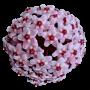 Hoya carnosa (krinson princess) - muda flor de cera