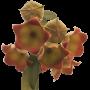 Hoya lauterbachii - muda flor de cera