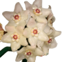 Hoya shepherdii - muda flor de cera  - vaso pequeno