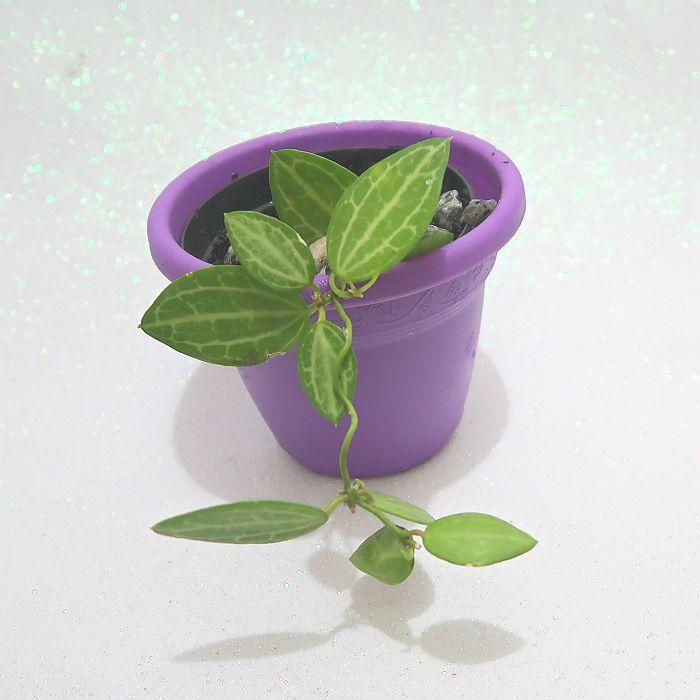 Dischidia ovata - Watermelon Dischidia