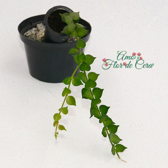 Dischidia ruscifolia - planta mini coração