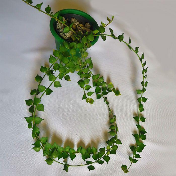 Dischidia ruscifolia - planta mini coração - muda grande