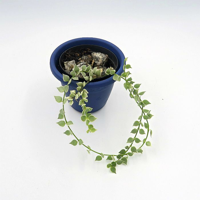 Dischidia ruscifolia variegata - planta mini coração