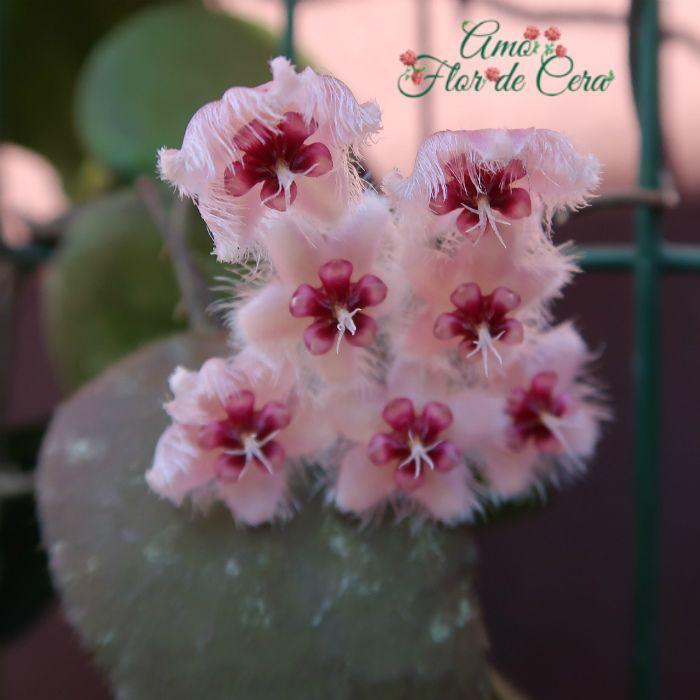 Hoya aff caudata - flor de cera